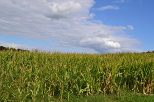 corn field in sunshine