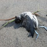 dead cassin's auklet