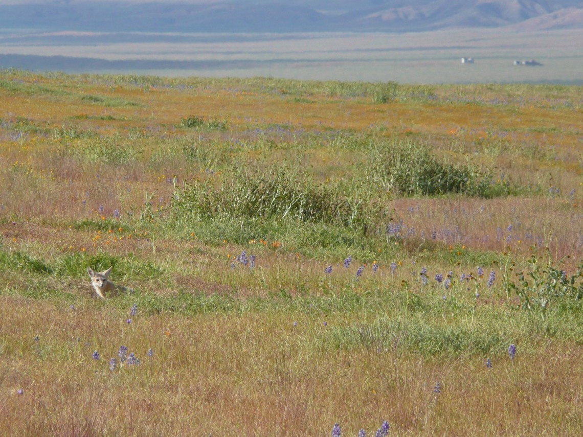 A kit fox is seen on the left in Carrizo Plain in 2010, before the historic drought. Carnivores were surprising losers in later years of the drought, as their primary prey species disappeared.