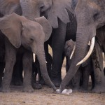 African elephants examining a bone from another elephant