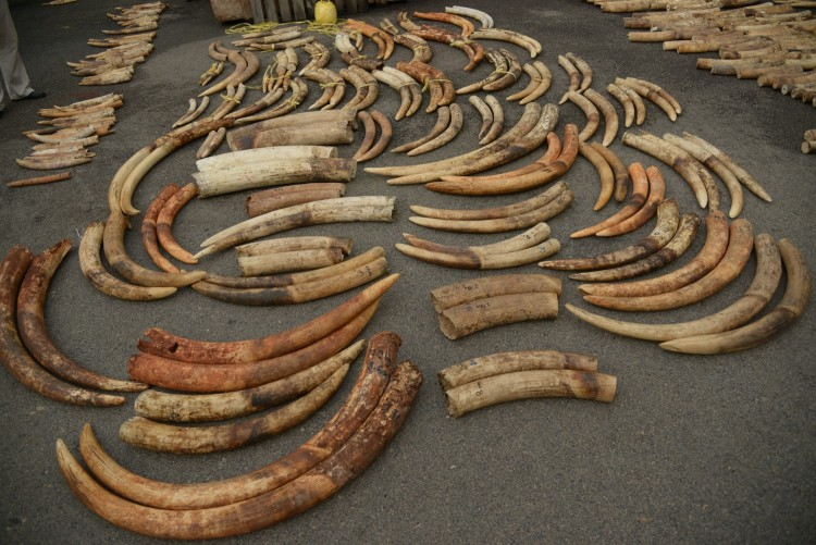 Tusks from an ivory seizure in 2015 in Singapore after they have been sorted into pairs.
