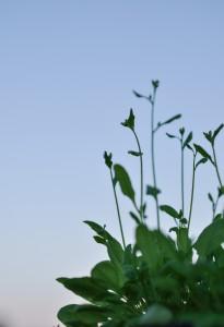 Arabidopsis thaliana plants flowering outside under natural light.