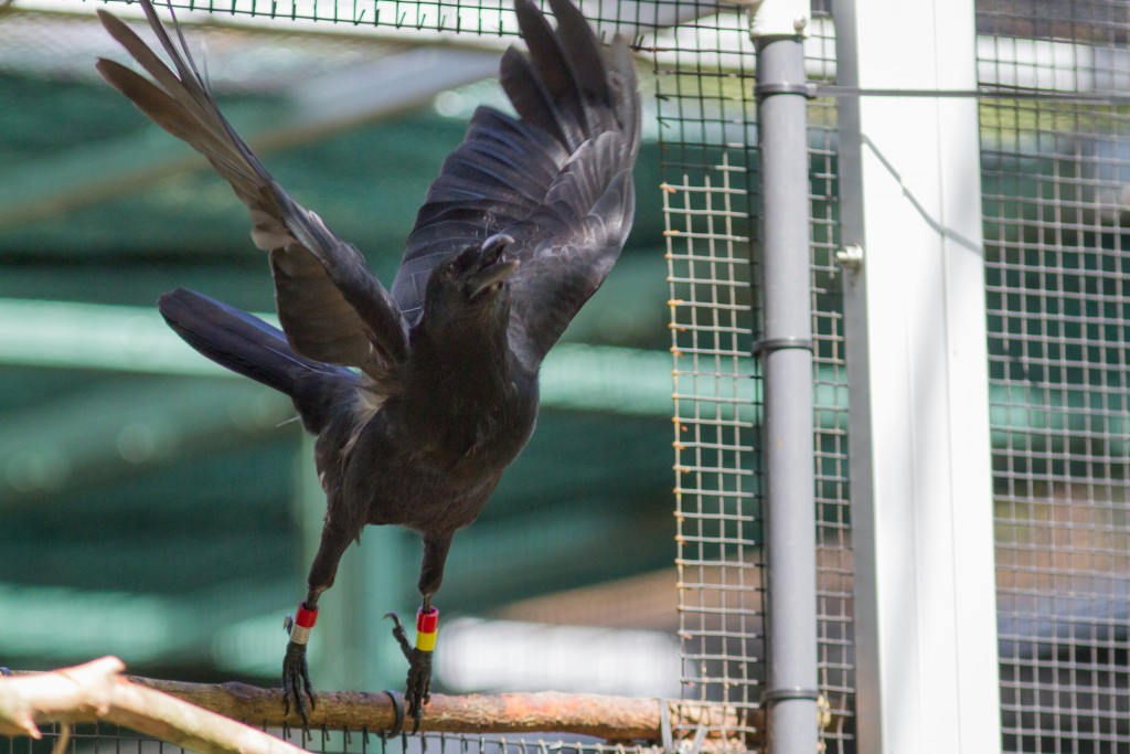 A Mariana crow, or Aga, takes flight upon release Sept. 28. Photo of crow about to fly off a perch.