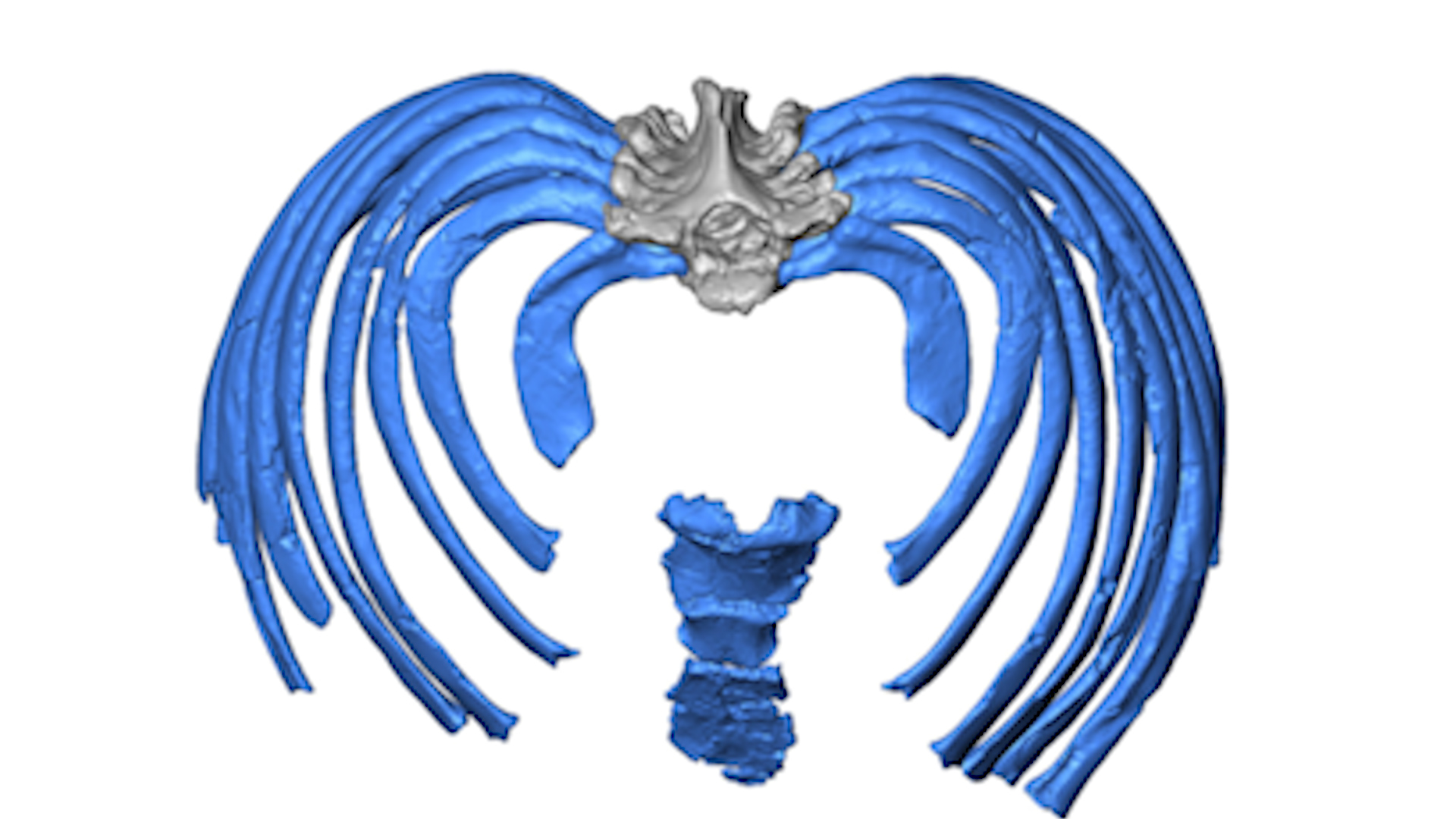 Study Reconstructs Neandertal Ribcage Offers New Clues To