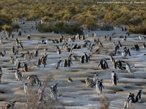 Magellanic penguins standing on a beach near their nests.
