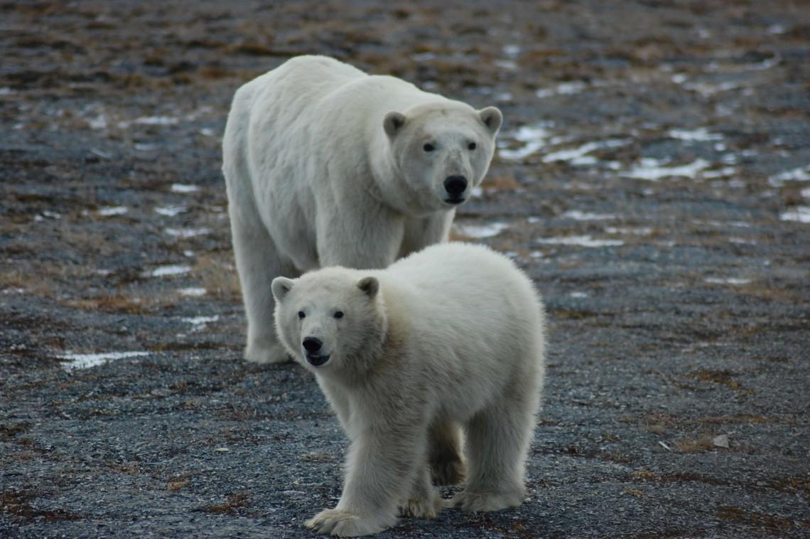 polar bears on rocky beach