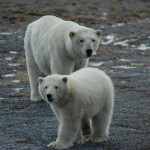 polar bears on rocky beach