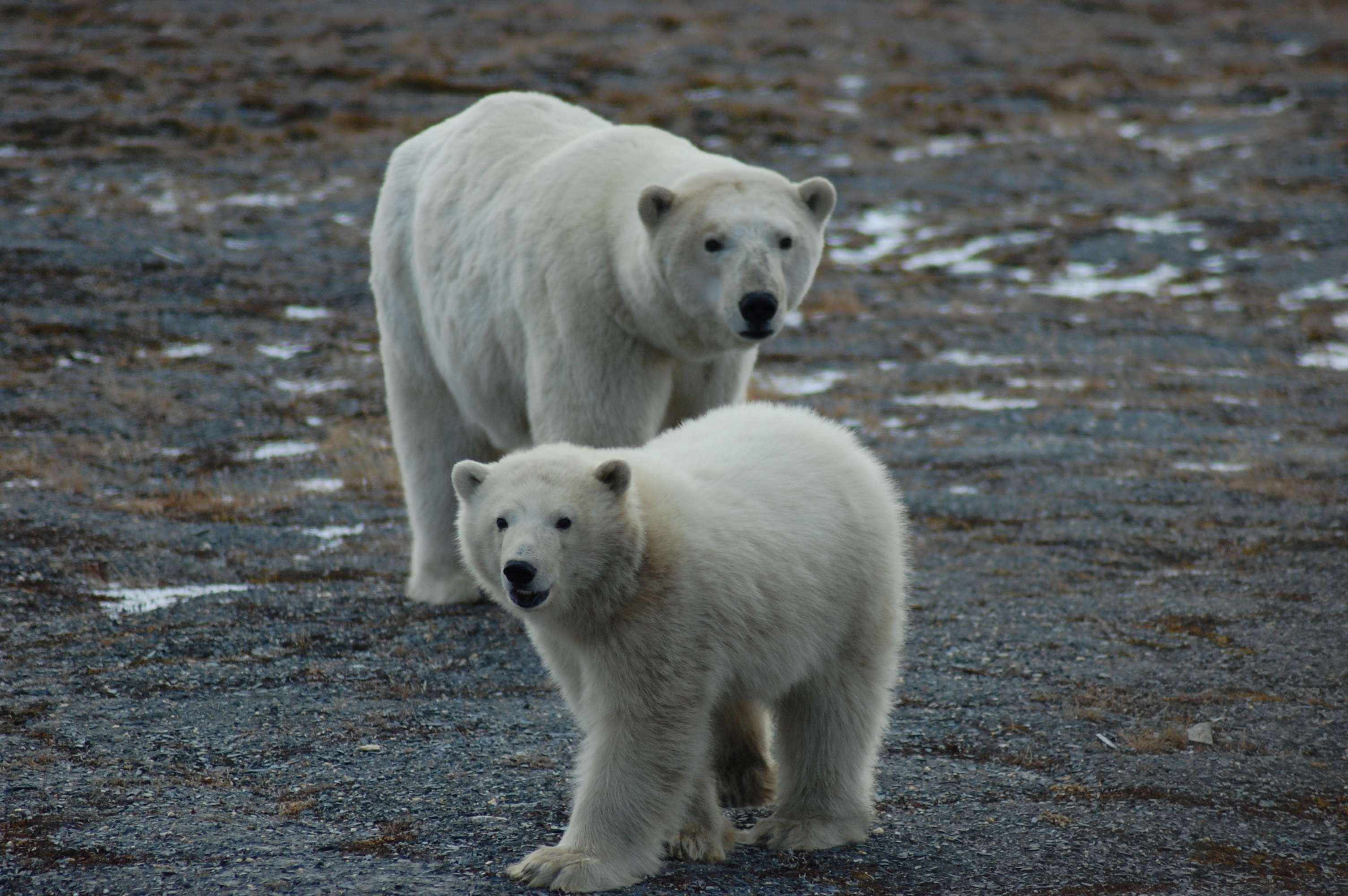 First Tally Of U S Russia Polar Bears Finds A Healthy Population Uw News