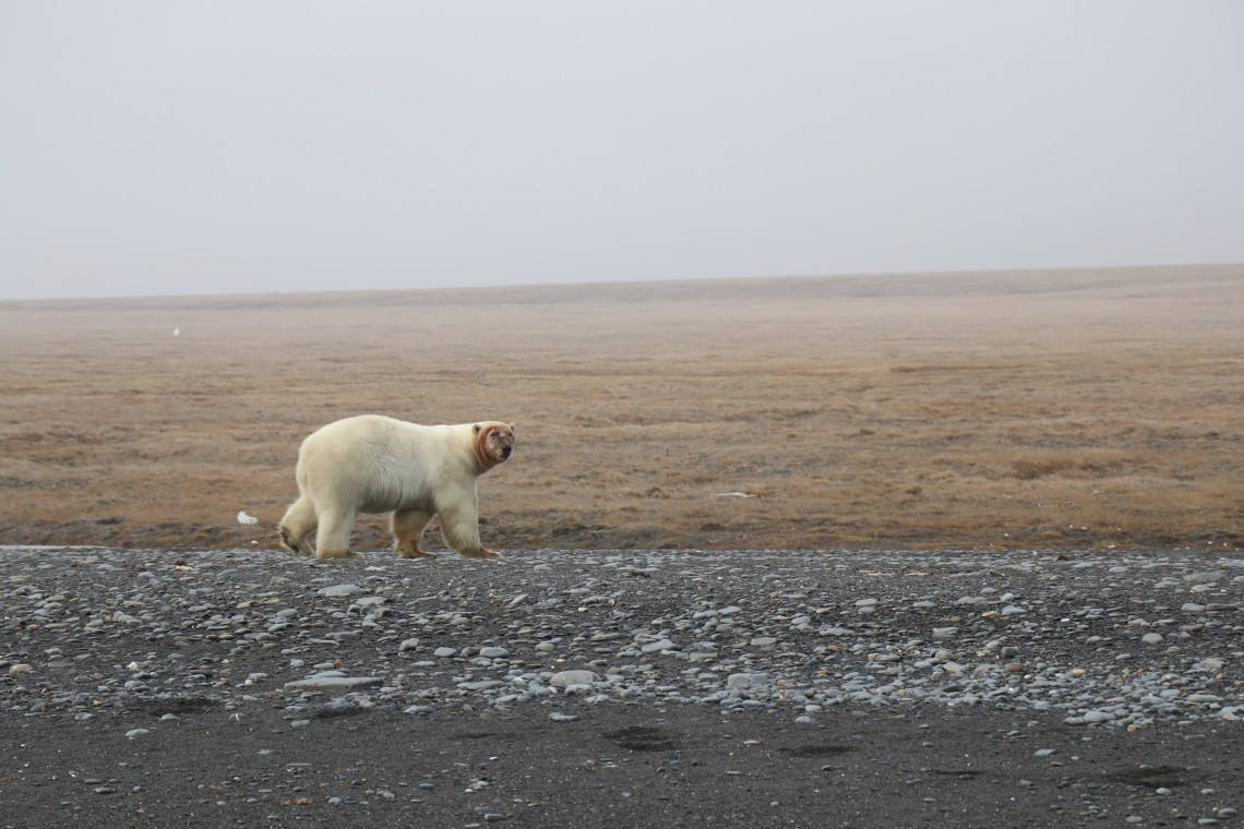 Polar bear with a bloody face after feeding on a walrus carcass in 2018 on Wrangel Island.