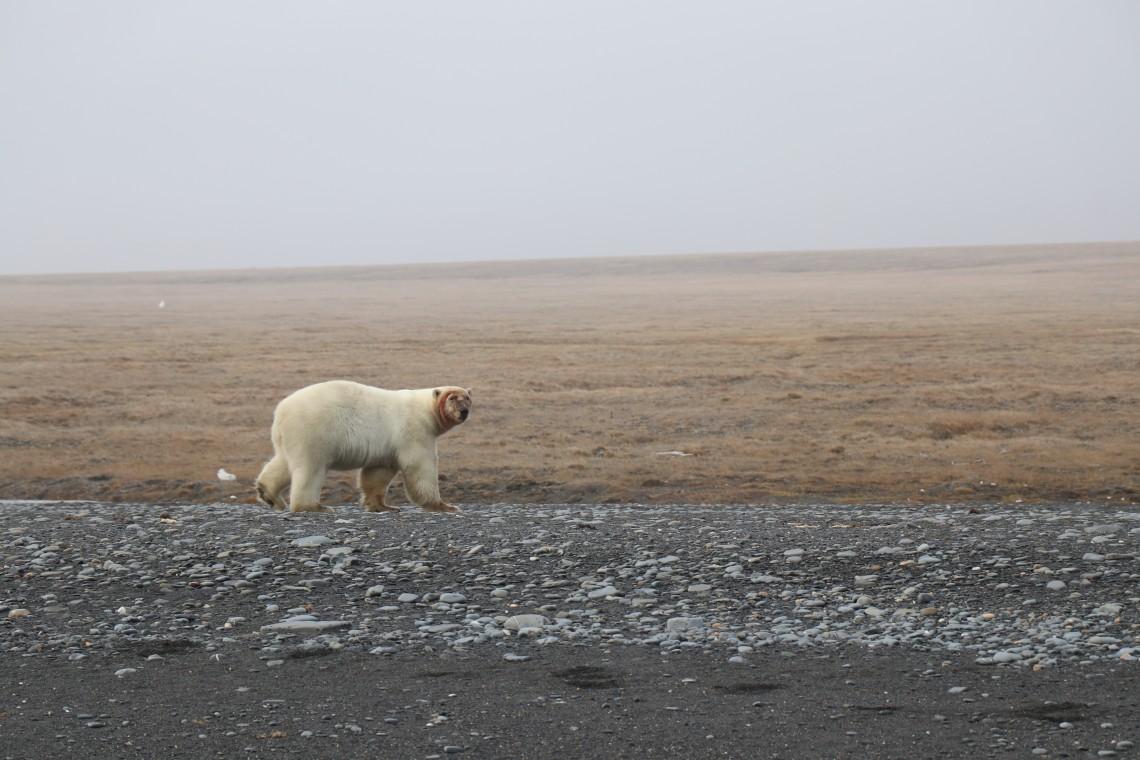Polar bear with a bloody face after feeding on a walrus carcass in 2018 on Wrangel Island.