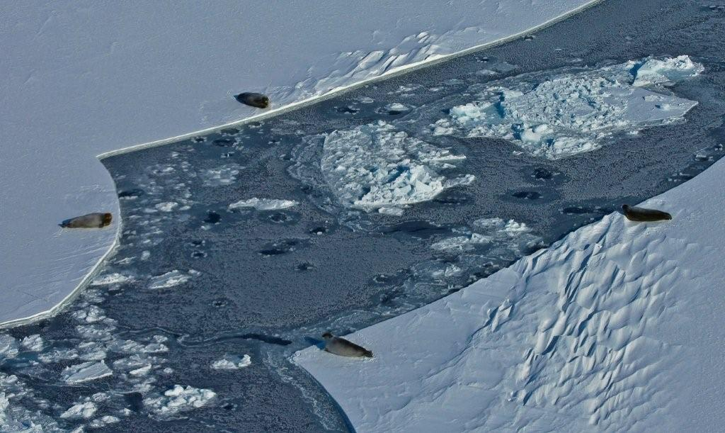 sea ice with seals on ice and in water