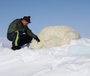 Eric Regehr monitoring a sedated polar bear as a researcher in the Chukchi Sea.