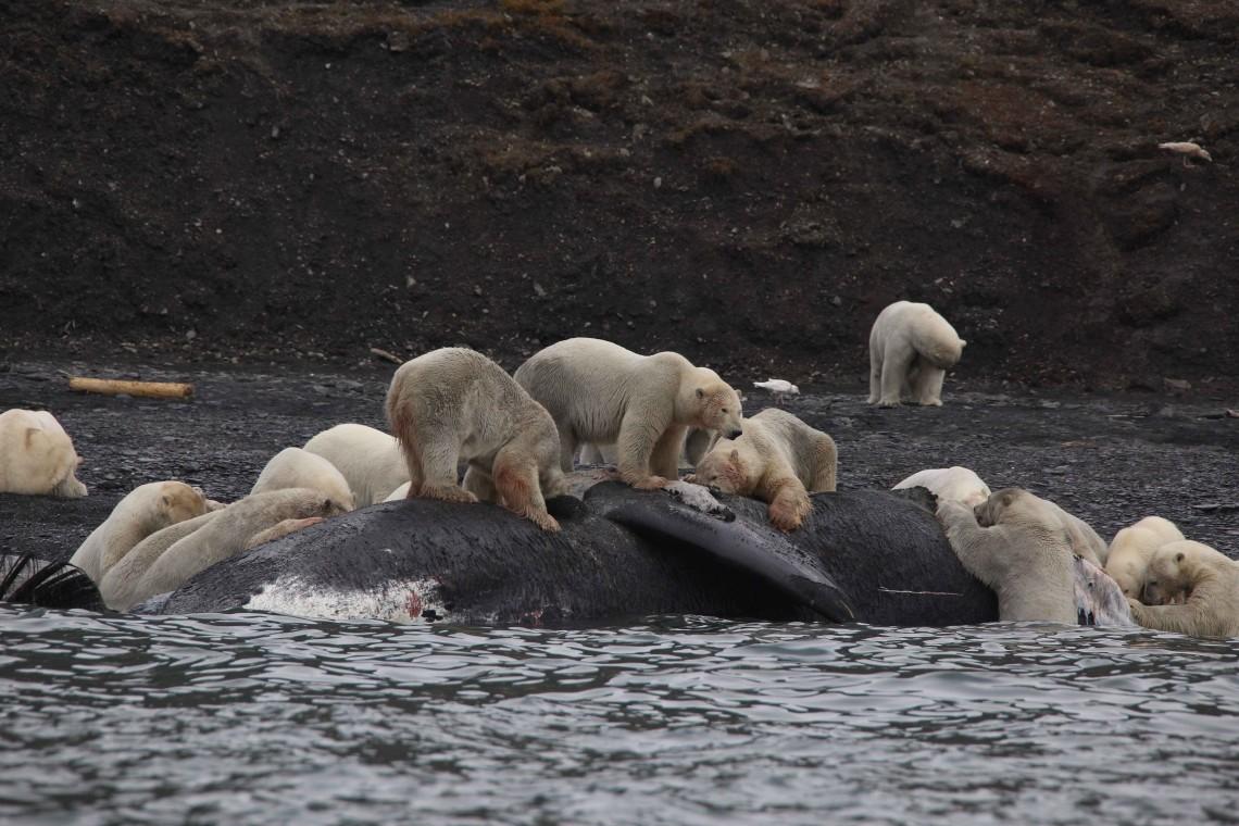 many polar bears on whale carcass