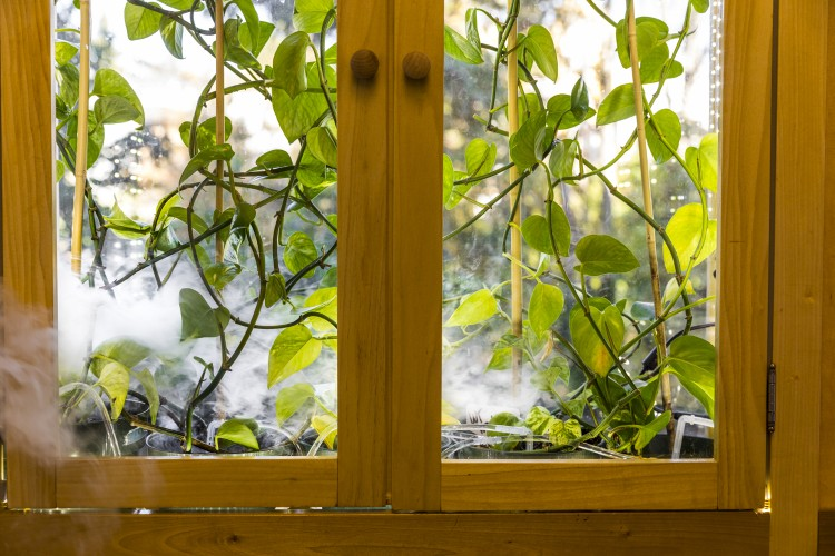 pothos ivy in an enclosure