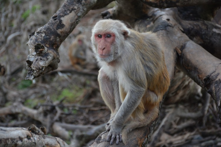 A University of Washington-led study found that social status in rhesus macaques affected how the animals responded to stress. Photo of monkey looking at camera.