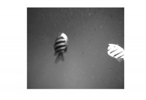 Fish swimming past the AMP camera