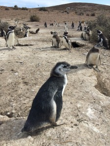 A Magellanic penguin chick on the beach.