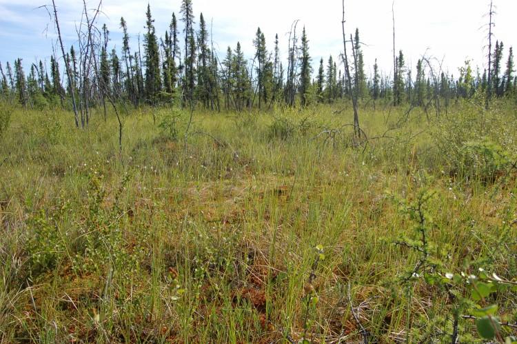 a thaw bog in Alaska