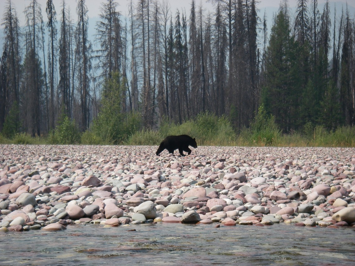 black bear on rocky bank