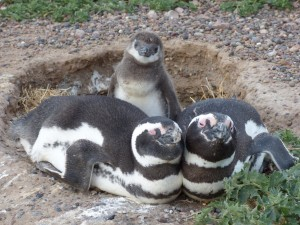 A penguin mother and father with their chick.