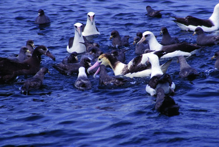 albatross birds