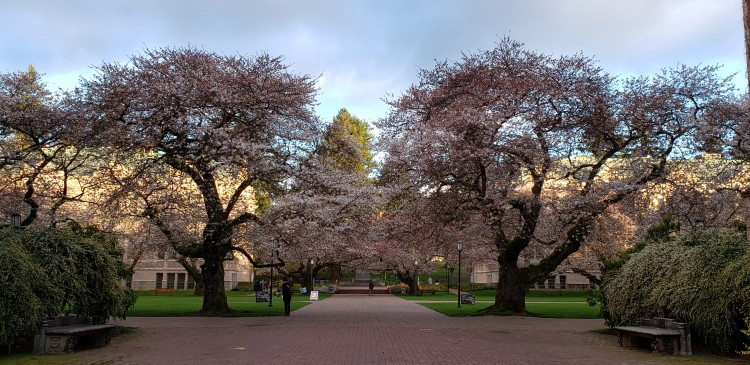 cherry blossom trees in the quad