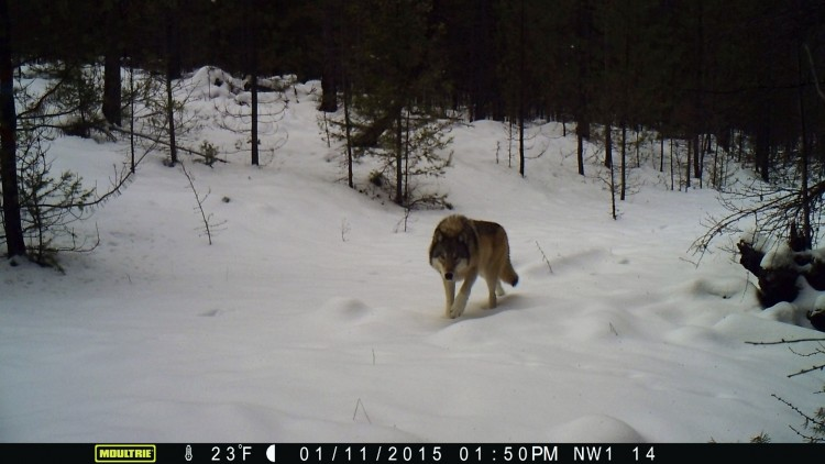 adult gray wolf