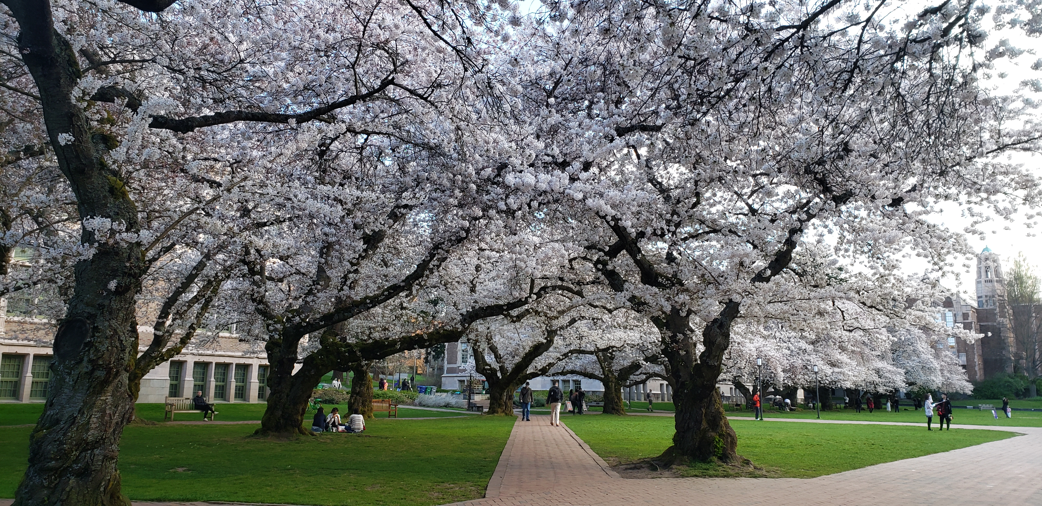 Quad Cherry Blossoms Expected To Peak End Of March If Weather