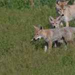 coyotes in grass