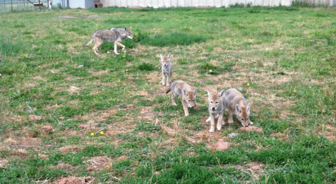 Coyote pups on patchy grass