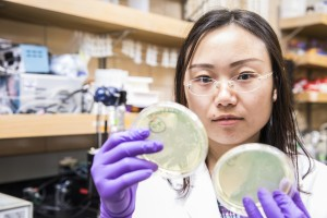 A doctoral student examines bacterial growth on agar plates