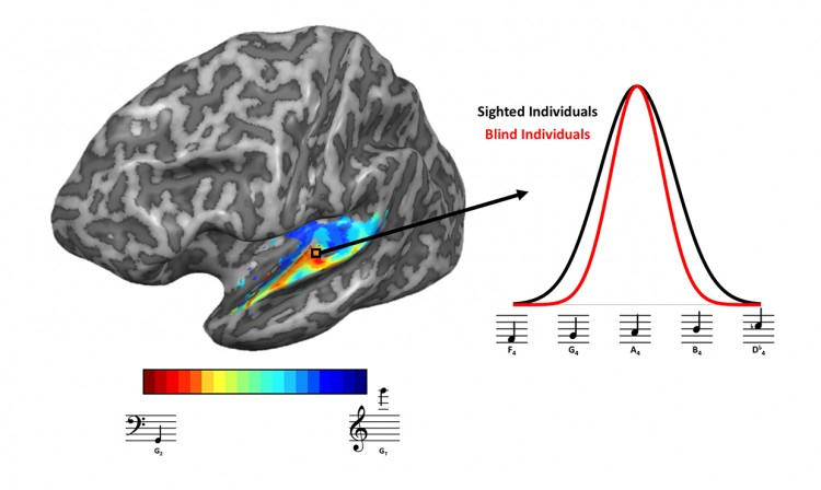 Left: Researchers began by measuring responses in the auditory cortex to find a map of how frequency responses were represented in the brain. The warm colors represent regions of the brain that showed the greatest response to low-pitched tones, while blue colors represent regions that responded more to high-pitched tones. Right: When researchers examined the range of frequencies each vertex of the brain was selective to, they found tuning tended to be narrower for blind individuals, which may underlie the enhanced ability of blind individuals to pick out and identify sounds in the environment. Image of MRI scan of the brain on the left. On the right is a graph showing differences in brain responses of blind individuals versus sighted individuals.