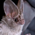 A close-up image of a California leaf-nosed bat.