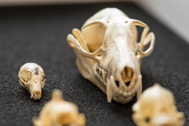 An image of two bat skulls.