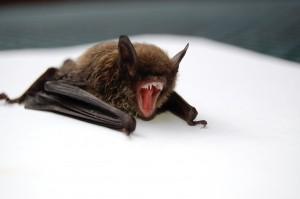 An image of a little brown bat.