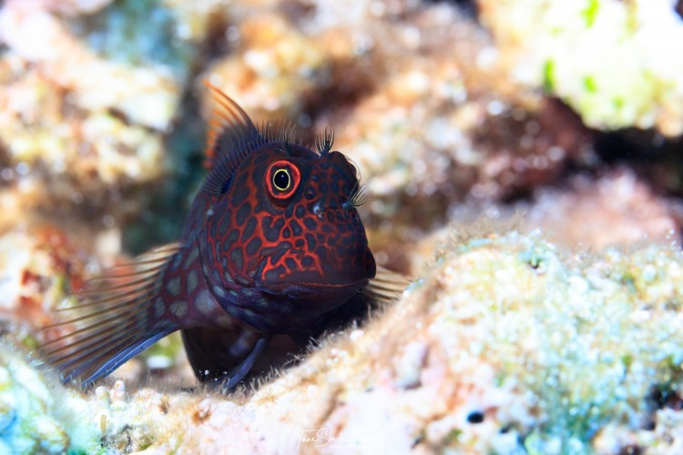 a fish called a blenny