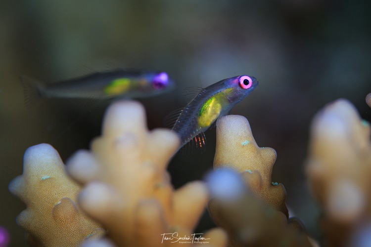 goby fish hover in small groups above coral.