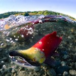 A spawning sockeye salmon.