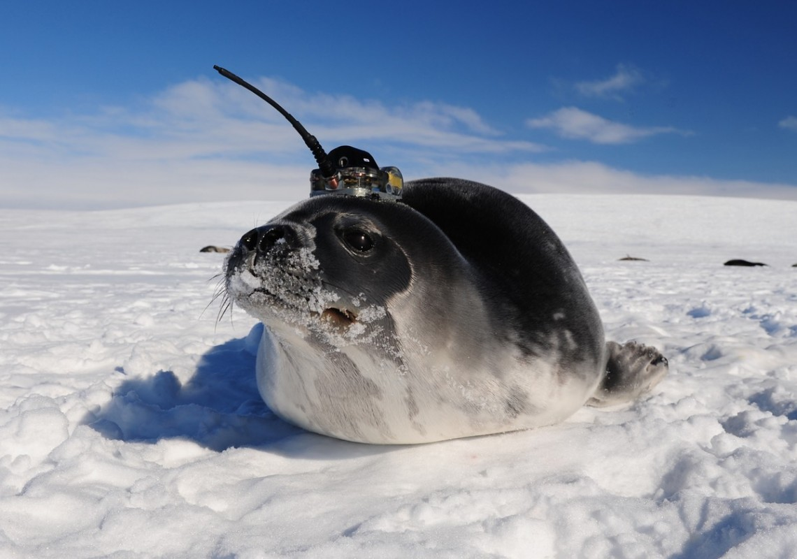 Ocean measurements were also collected by seals swimming under the sea ice with temporary satellite tags, showing normal water conditions in the years that did not have large polynyas.