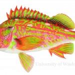 rockfish illustration