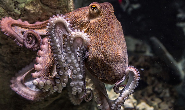 Of octopuses and astrobiology: Conference talk speculates on cognition beyond Earth