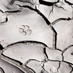 paw print on cracked mud