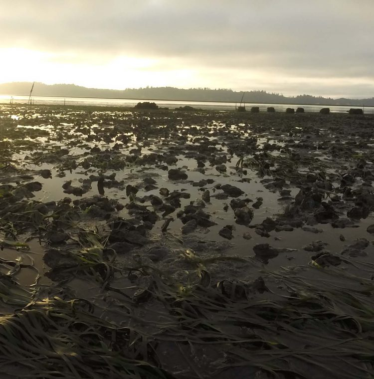 Dawn in Willapa Bay in 2015, showing oysters on a tidal flat.