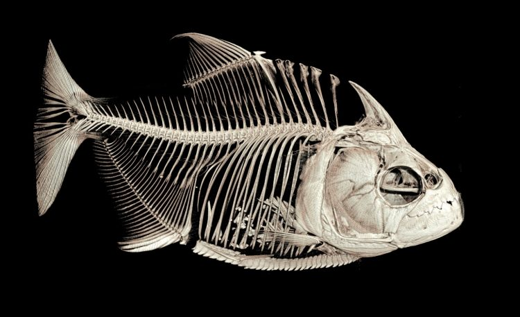 Piranha fish swap old teeth for new simultaneously