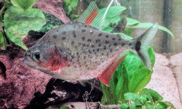 live piranha