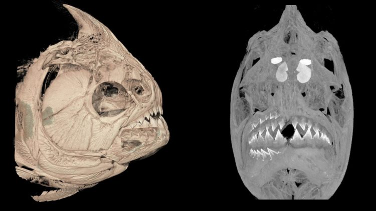 two scanned images showing teeth growing in a piranha mouth
