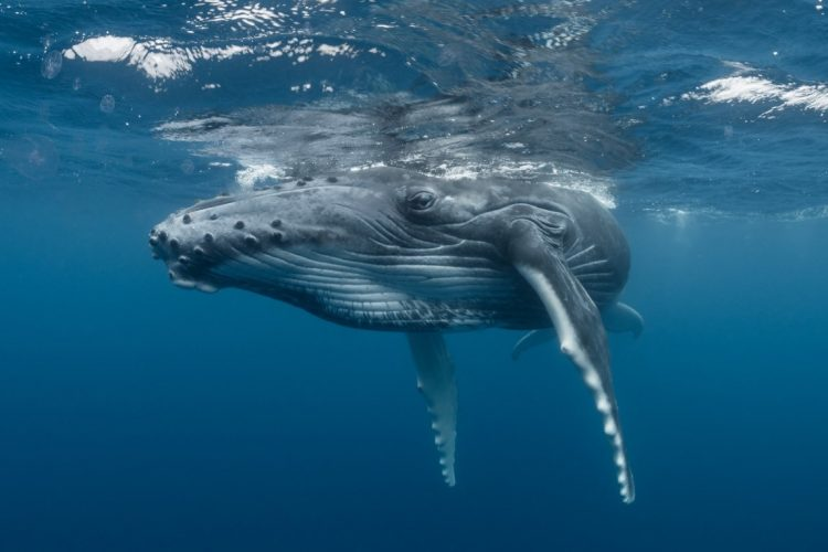 Humpback Whale Population On The Rise After Near Miss With Extinction Uw News