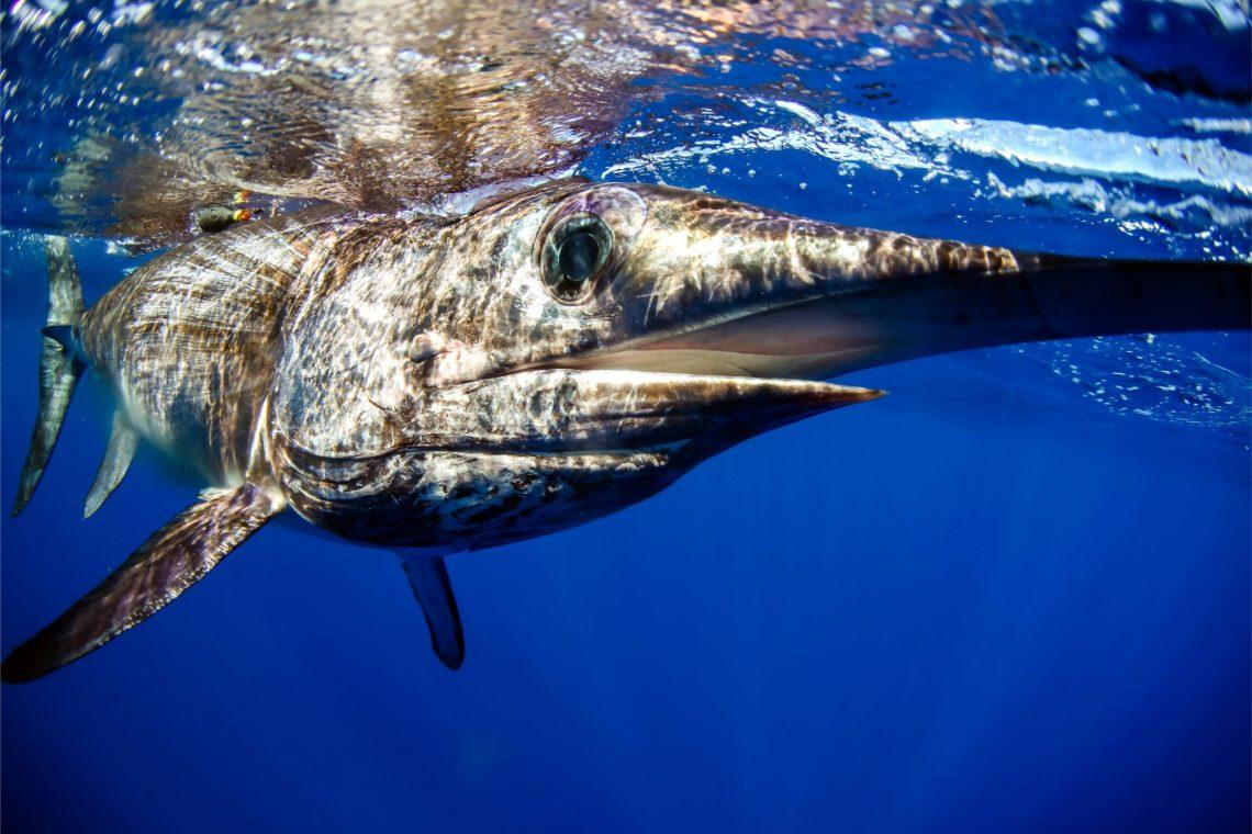 closeup of swordfish