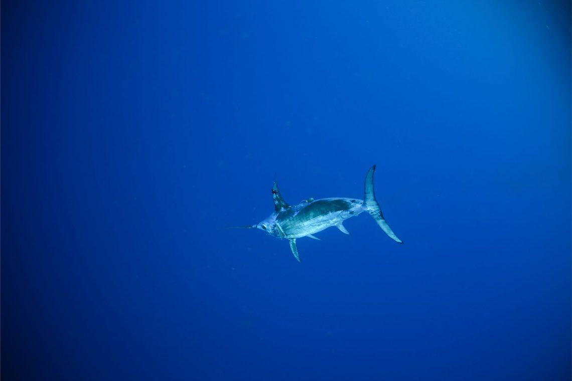 blue ocean with swordfish in distance