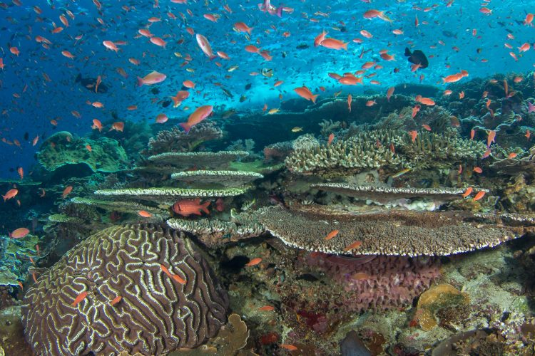 A healthy reef in Indonesia teems with life.